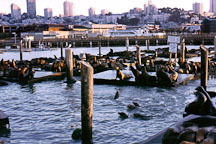 California sea lions at Pier 39's K dock. Zalophus californianus. San Francisco, California. - Photo #39
