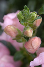 Antirrhinum majus. Sonnet Pink Snapdragon. - Photo #2339