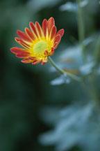 Spicy New Orleans (single & semi-double). Chrysanthemum (Dendranthema). - Photo #2139