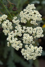 Achillea anthea, Yarrow. - Photo #2320