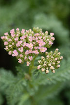 Achillea millifolium 'Heidi'. - Photo #2325