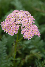 Achillea millifolium 'Heidi'. - Photo #2323