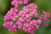 Achillea Millefolium 'Paprika' - Photo #2319
