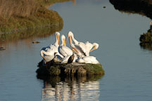 American white pelicans,  Palo Alto Baylands Nature Preserve, California. - Photo #2258