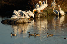 American white pelicans,  Pelecanus erythrorhynchos. Palo Alto Baylands Nature Preserve, California. - Photo #2261