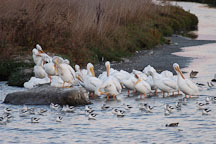 American white pelicans. Pelecanus Erythrorhynchos. Palo Alto Baylands, California. - Photo #2103