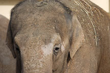 Asian Elephant, Elephas maximus. - Photo #2468