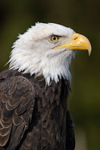 Bald eagle portrait, Haliaeetus leucocephalus. - Photo #2510