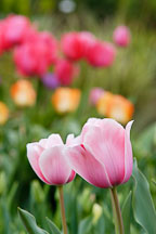 Tulip 'Salmon impression', Tulipa. - photos & pictures - ID #2971