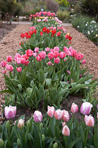 Tulip 'Gabriele', Tulipa. - photos & pictures - ID #2979