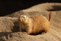 Black-tailed Prairie Dog, Cynomys ludovicianus. - Photo #2523