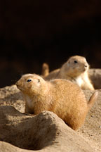Black-tailed Prairie Dog, Cynomys ludovicianus. - Photo #2526
