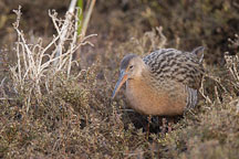 California clapper rail walking through the brush. Rallus longirostris obsoletus. Palo Alto Baylands Nature Preserve. - Photo #2454