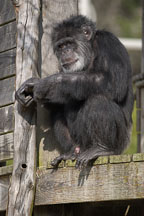 Chimpanzee, Pan troglodytes. - Photo #2484