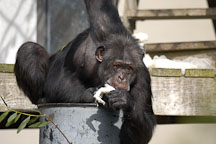 Chimpanzee, Pan troglodytes. - Photo #2488