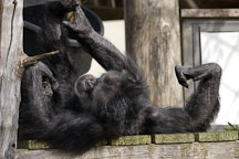 Chimpanzee, Pan troglodytes. - Photo #2496