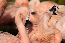Chilean Flamingo and flock. Phoenicopterus chilensis. Pink flamingo. - Photo #2459
