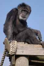 Chimpanzee, Pan troglodytes. - Photo #2493
