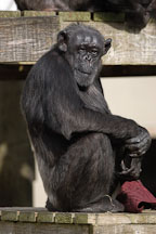 Chimpanzee, Pan troglodytes. - Photo #2495