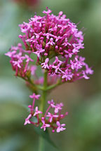 Centranthus ruber. Red valerian. - Photo #2142