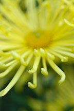 Kimie (spoon).  Chrysanthemum (Dendranthema). - Photo #2134