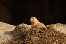 Black-tailed Prairie dog looking out of his den. Cynomys ludovicianus. - Photo #2529