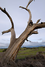 Dead tree at Arastradero Preserve. Palo Alto, California, USA. - Photo #2903