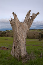 Dead tree at Arastradero Preserve. Palo Alto, California, USA. - Photo #2906
