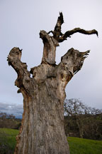 Dead tree at Arastradero Preserve. Palo Alto, California, USA. - Photo #2907
