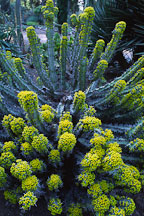 Euphorbia coerulescens. - Photo #2880