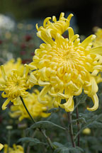 Fort Smith (irregular incurve).  Chrysanthemum (Dendranthema). - Photo #2128