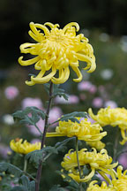 Fort Smith (irregular incurve).  Chrysanthemum (Dendranthema). - Photo #2129