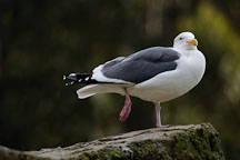 Glaucous-winged Gull. Larus glaucescens. - Photo #2482