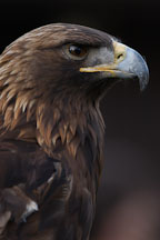 Golden eagle. Aquila chrysaetos. - Photo #2514