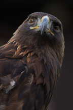 Golden eagle. Aquila chrysaetos. - Photo #2512