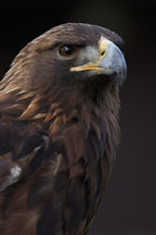 Golden eagle. Aquila chrysaetos. - Photo #2513