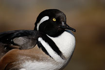 Hooded Merganser. Lophodytes cucullatus. - Photo #2516