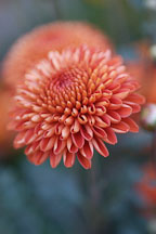 Kelvin Mandarin (pompon). Chrysanthemum (Dendranthema). - Photo #2118