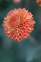 Kelvin Mandarin (pompon). Chrysanthemum (Dendranthema). - Photo #2119