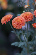 Kelvin Mandarin (pompon). Chrysanthemum (Dendranthema). - Photo #2117