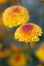 Kelvin Tattoo Yellow (pompon). Chrysanthemum (Dendranthema). - Photo #2111
