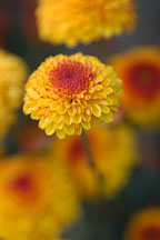 Kelvin Tattoo Yellow (pompon). Chrysanthemum (Dendranthema). - Photo #2112
