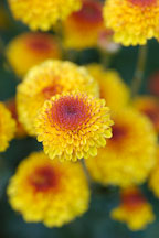 Kelvin Tattoo Yellow (pompon). Chrysanthemum (Dendranthema). - Photo #2115