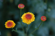 Kelvin Tattoo Yellow (pompon). Chrysanthemum (Dendranthema). - Photo #2113