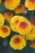Kelvin Tattoo Yellow (pompon). Chrysanthemum (Dendranthema). - Photo #2110