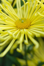 Kimie (spoon).  Chrysanthemum (Dendranthema). - Photo #2133