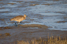 Long-billed curlew, Numenius americanus. Palo Alto Baylands Nature Preserve, California. - Photo #2544