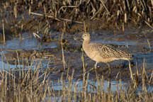 Long-billed curlew, Numenius americanus. Palo Alto Baylands Nature Preserve, California. - Photo #2539