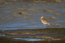 Long-billed curlew, Numenius americanus. Palo Alto Baylands Nature Preserve, California. - Photo #2535