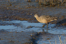 Long-billed curlew, Numenius americanus. Palo Alto Baylands Nature Preserve, California. - Photo #2540